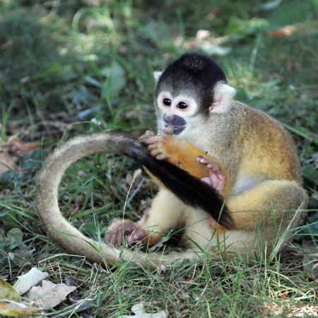 sciureus: Squirrel monkey  saimiri sciureus  eating on the ground