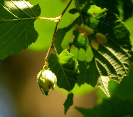Close up on green hazelnuts and tree leafs in summer forest Stock Photo - 21943829