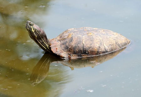 snapping turtle: Red-eared slider turtle  trachemys scripta elegans  out of water and turning head to the photographer