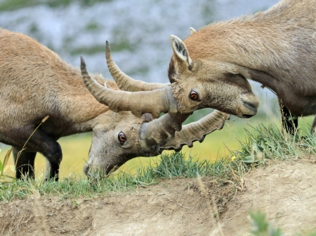 Two young male alpine ibex  capra ibex  or steinbock fighting in Alps mountain, France