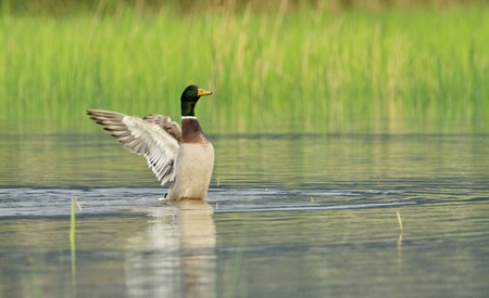 Male mallard duck shaking wings while in the water pond Stock Photo - 22828073