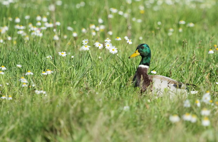 Male mallard duck walking in grassy pond between white flowers Stock Photo - 22828326