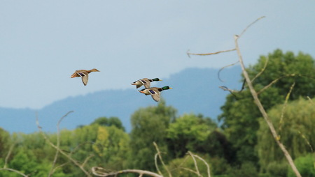 Group of mallard duck flying upon trees Stock Photo - 22828327
