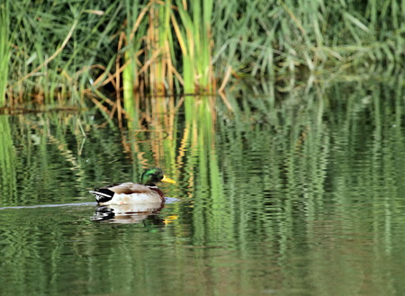 Group of mallard duck floating quietly on the water pond Stock Photo - 22828341