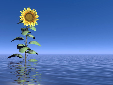 Close up on one sunflower standing out of the water in deep blue background photo