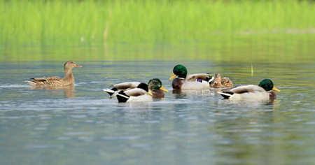 Group of mallard duck floating quietly on the water pond Stock Photo - 22828359