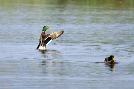Male mallard duck shaking wings while in the water pond Stock Photo - 22828363