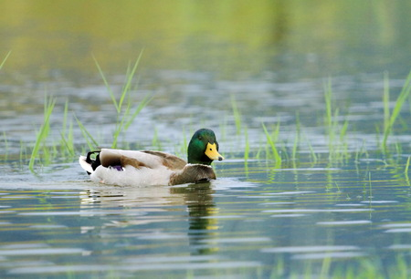 Male mallard duck floating quietly on the water pond between grass Stock Photo - 22828367