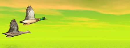 Male and female couple of mallard ducks flying in green background upon water by cloudy sunset photo