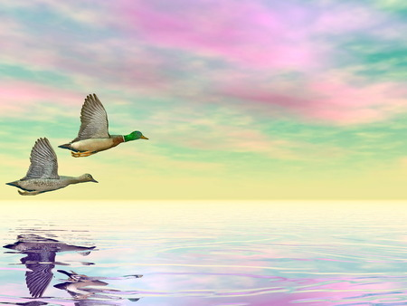 Male and female couple of mallard ducks flying upon water by cloudy sunset photo