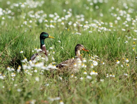 Couple male and female mallard duck walking in grassy pond between white flowers Stock Photo - 23116666