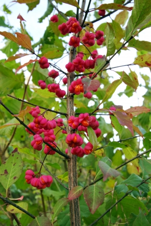 Close up on red spindle tree in nature photo