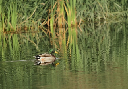 Male mallard duck floating quietly on the water pond next to vegetation Stock Photo - 23443136