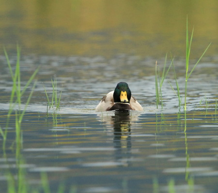 Male mallard duck floating quietly on the water pond between grass Stock Photo - 23443140
