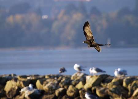 Black crow flying next to the coast of lake with gulls on rocks Stock Photo - 23474931