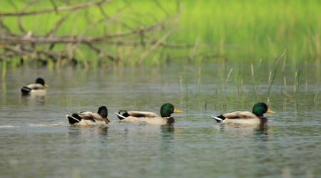 Male mallard ducks floating quietly on the water pond next to grass Stock Photo - 23475308