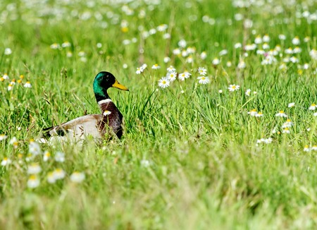 Male mallard duck walking in grassy pond between white flowers Stock Photo - 23475306