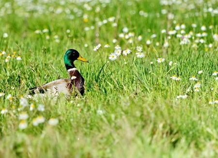 Male mallard duck walking in grassy pond between white flowers Stock Photo - 23475306