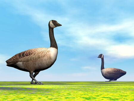 Two canadian geese walking on the grass by day light with little clouds photo
