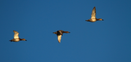 Three pochard ducks flying in deep blue sky by sunset photo