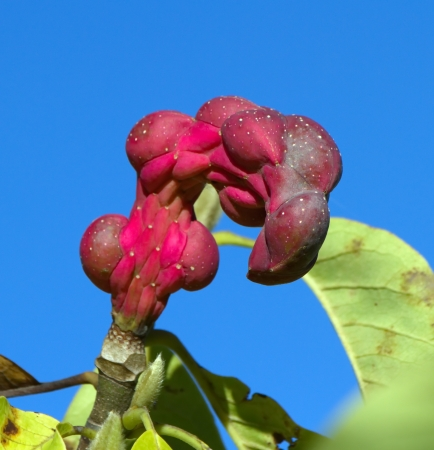 seedpod: Magnolia Sayonara seed pods in deep blue sky Stock Photo