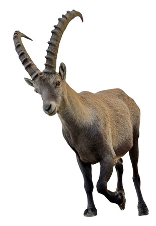 mountain goats: Male alpine ibex  capra ibex  or steinbock portrait in white background