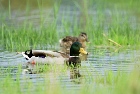 Couple of mallard ducks floating quietly on the water pond between grass Stock Photo - 23987744