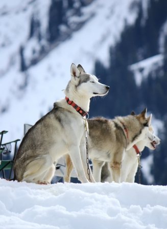 Siberian husky dogs wearing red necklace sitting on snow having rest after the race photo