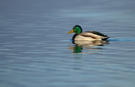 Male mallard duck floating quietly on the water pond Stock Photo - 24470032