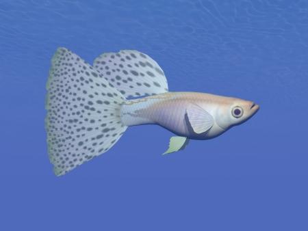 One guppy blue fish swimming in deep underwater Stock Photo - 24610847