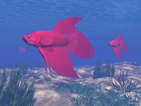 betta: Red betta fishes in deep blue underwater Stock Photo
