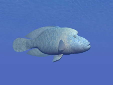 napoleon: One napoleon fish in deep blue underwater