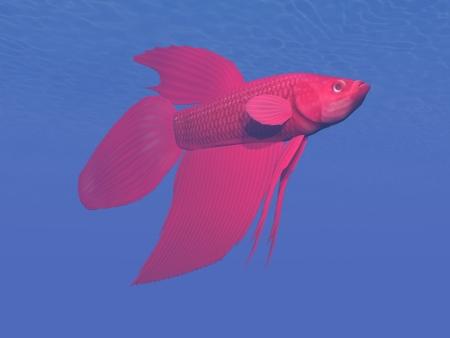 betta: One red betta fish in deep blue underwater