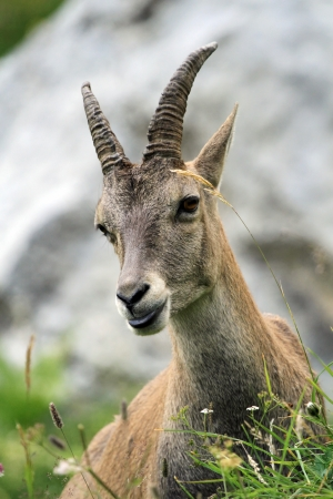 mountain goat: Female wild alpine ibex  capra ibex  or steinbock portrait in Alps mountain, France Stock Photo