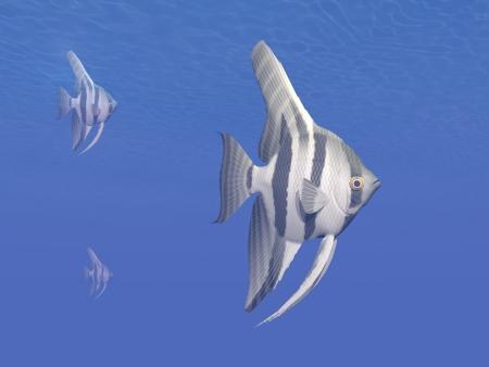 betta: Three angelfishes  pterophyllum altum  swimming in deep blue underwater