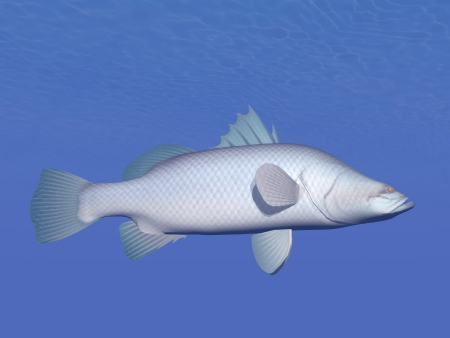 calcarifer: One barramundi or asian seabass fish  lates calcarifer  swimming in deep underwater