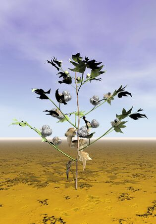 cotton plant: One cotton plant with balls and flowers on the ground by cloudy day Stock Photo