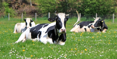 Group of holstein cows having rest on grass with dandelion by spring day Фото со стока