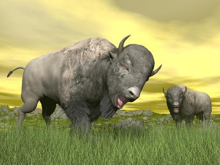 Two bisons with tongue out of mouth standing in the green grass by yellow sunset photo
