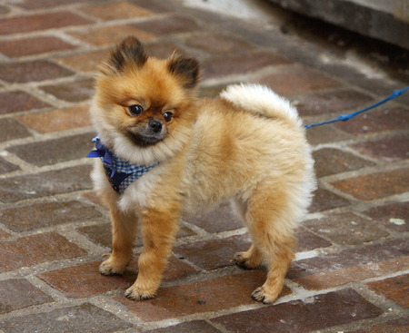 Baby chow-chow standing in the street while looking away photo