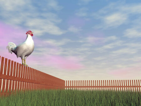 crowing: One rooster alone standing on a wood fence while crowing in the morning light