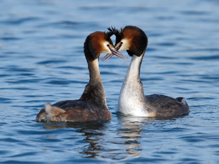 courting: Couple of great crested grebe  podiceps cristatus  male and female ducks doing courtship on water