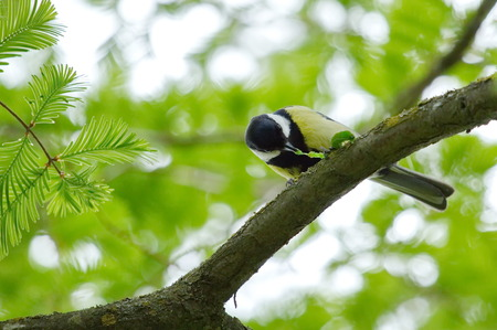 Colorful great tit  parus major  eating one caterpillar on a tree branch by spring photo