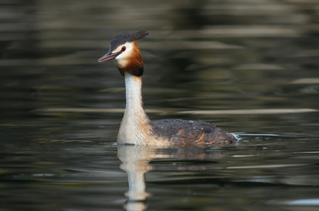 crested duck: Crested grebe duck  podiceps cristatus  floating on water