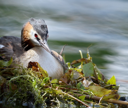 crested duck: Crested grebe duck  podiceps cristatus  incubating its nest Stock Photo