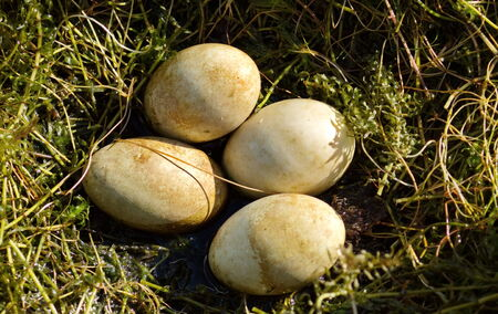 incubate: Great crested grebe ducks, podiceps cristatus, nest with eggs Stock Photo