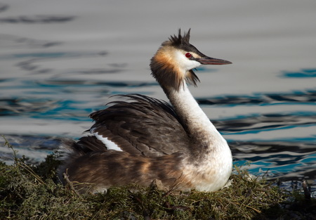 brooding: Crested grebe, podiceps cristatus, duck brooding nest