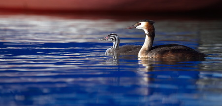 crested duck: Crested grebe, podiceps cristatus, duck and baby