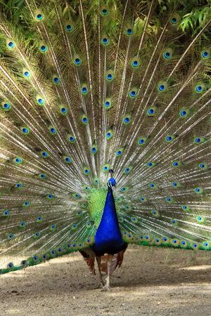 peacock wheel: Maschio ruota di pavone della piuma