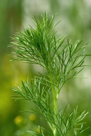 arvensis: Wild fennel, nigella arvensis